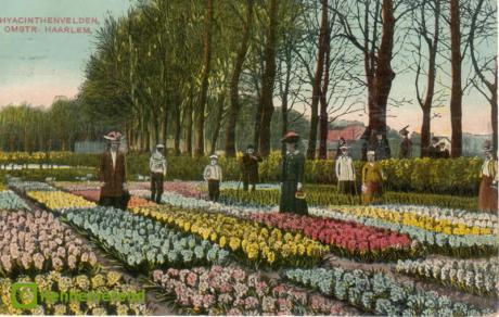 Kennemerend_Postal card_Hyacinthus_1910_viewing